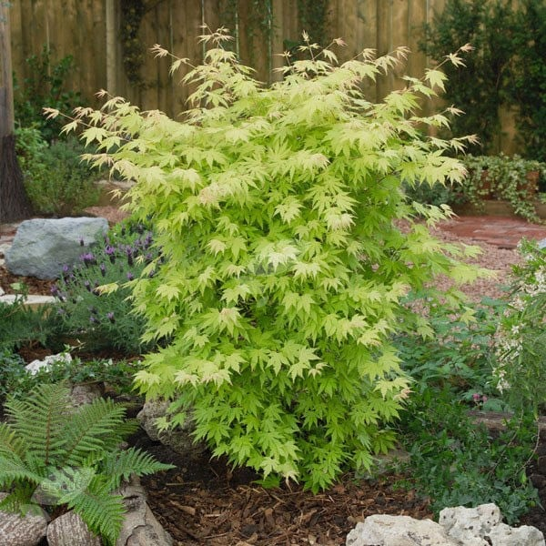 Buy Japanese Maple Acer Palmatum Orange Dream 2999 Delivery By Crocus