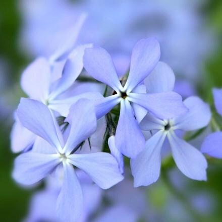 Phlox divaricata Blue Perfume