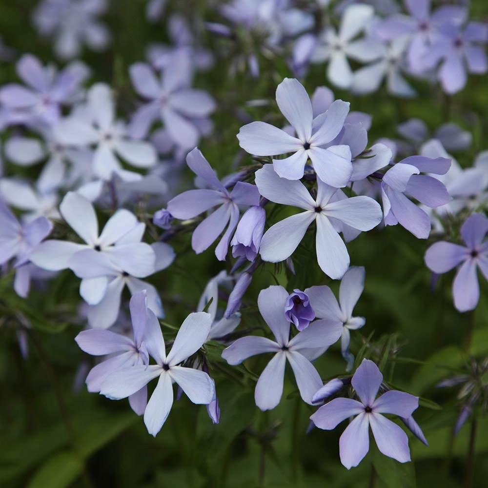 buy perennial phlox phlox divaricata blue perfume delivery by crocus. Black Bedroom Furniture Sets. Home Design Ideas