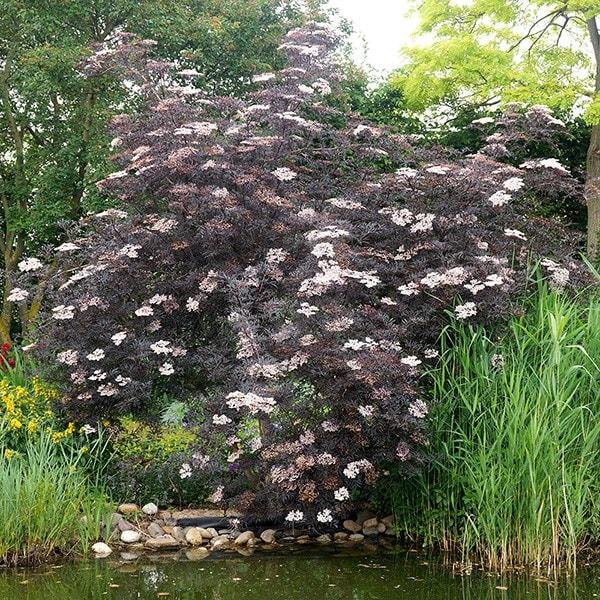 buy black elder syn black lace sambucus nigra f porphyrophylla 39 eva 39 delivery by crocus. Black Bedroom Furniture Sets. Home Design Ideas