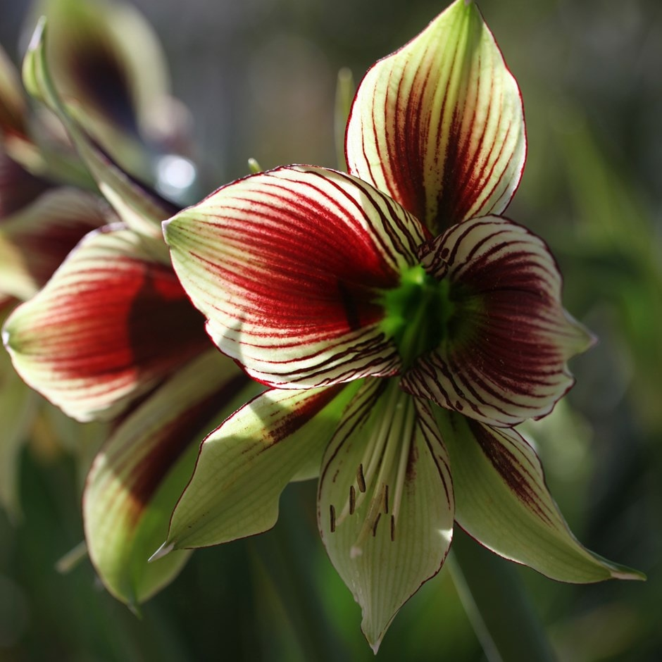 buy butterfly amaryllis bulb hippeastrum papilio 11 99 delivery by