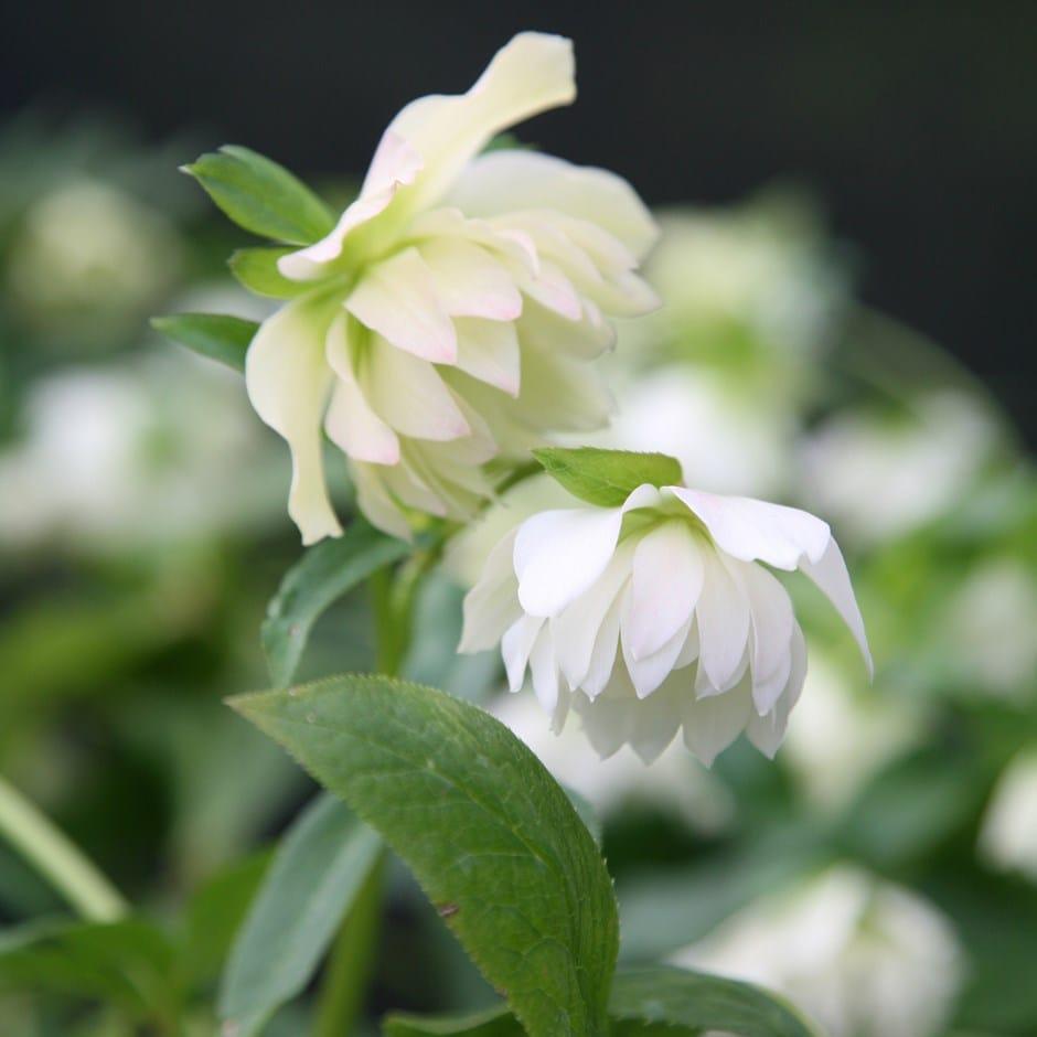 Lenten rose hellebore