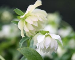 Helleborus × hybridus Harvington double white