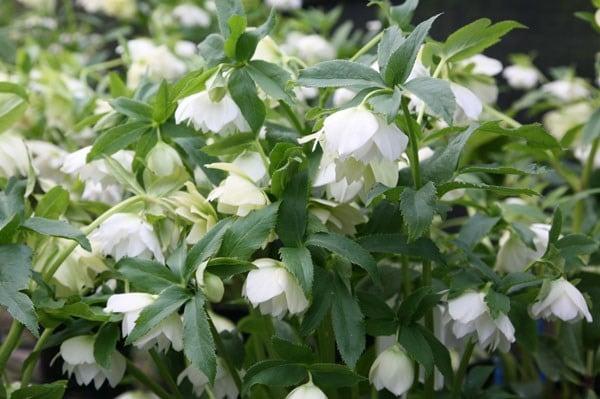 buy lenten rose hellebore helleborus  u00d7 hybridus harvington double white   u00a319 99 delivery by crocus