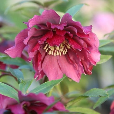 Helleborus × hybridus Harvington double red