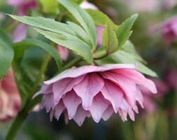 Helleborus × hybridus Harvington double pink