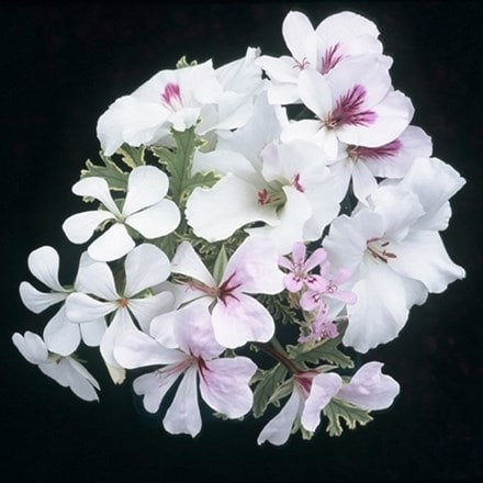 White pelargonium collection - containing 5 plants