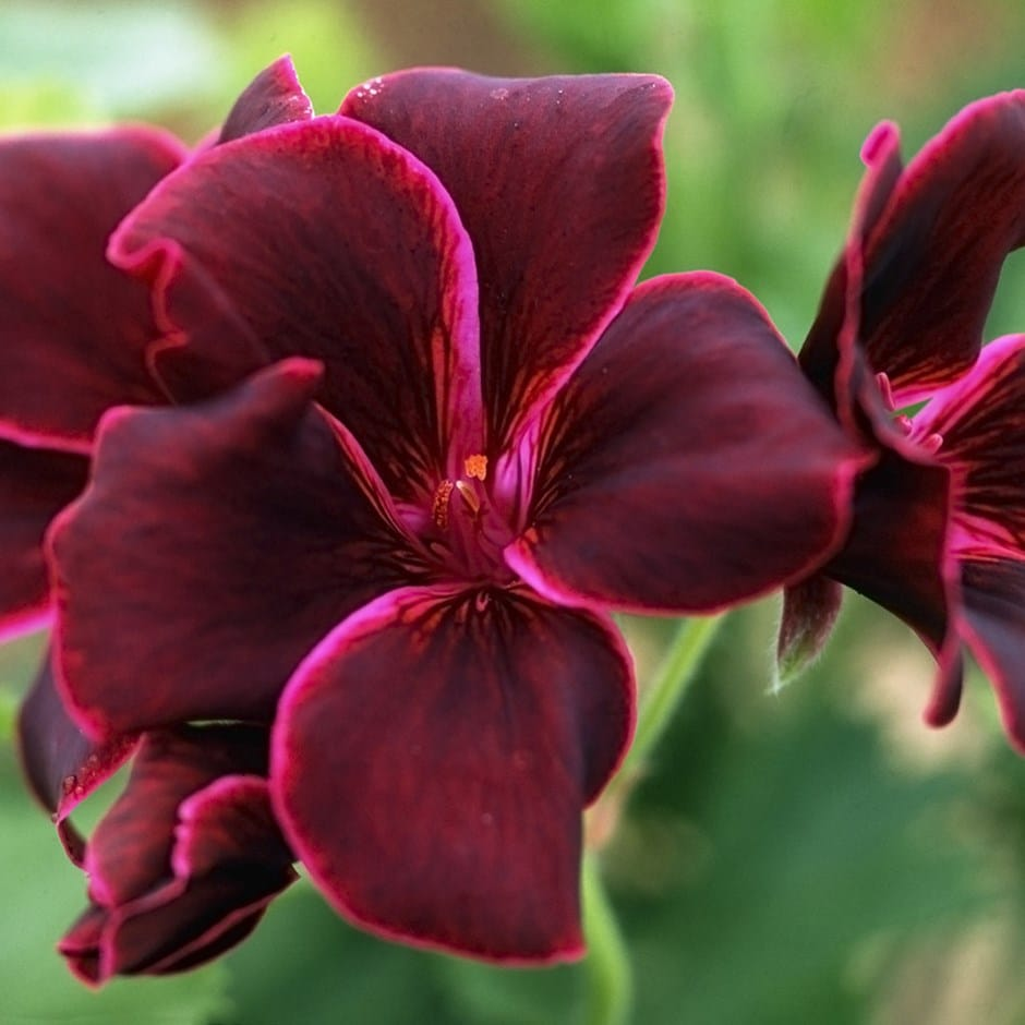 Buy Regal Pelargoniums Pelargonium Lord Bute 163 7 19