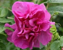 rose Roseraie de l'Haÿ (shrub)
