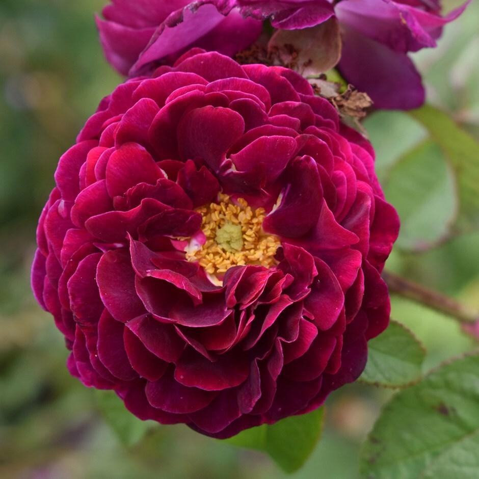 rose Tuscany Superb (gallica)