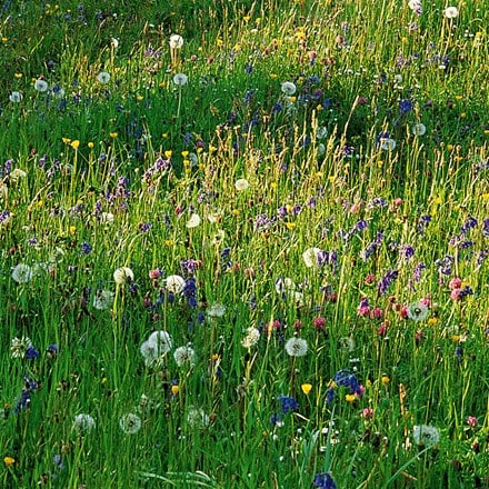 Wildflowers for a stronger colour sunny meadow display