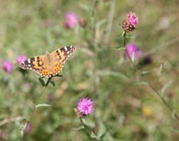 Wildflowers for attracting butterflies