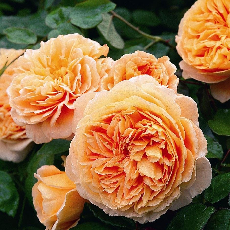 rose Crown Princess Margareta  (shrub)