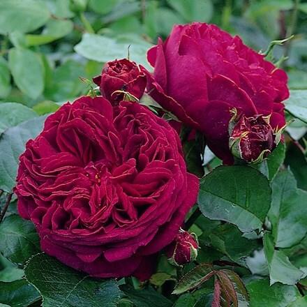 Rosa Falstaff ('Ausverse') (PBR)