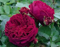 rose Falstaff (shrub)