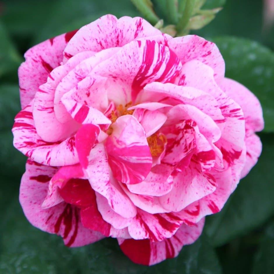 rose Ferdinand Pichard (hybrid perpetual)