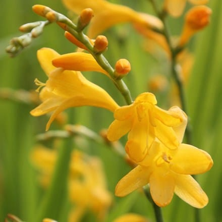 Crocosmia × crocosmiiflora George Davison