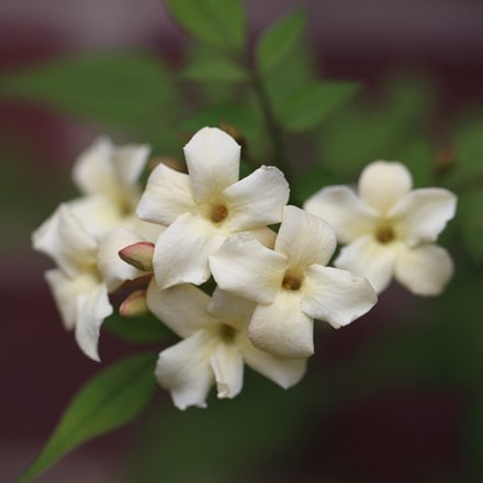 Jasminum officinale Devon Cream (PBR)