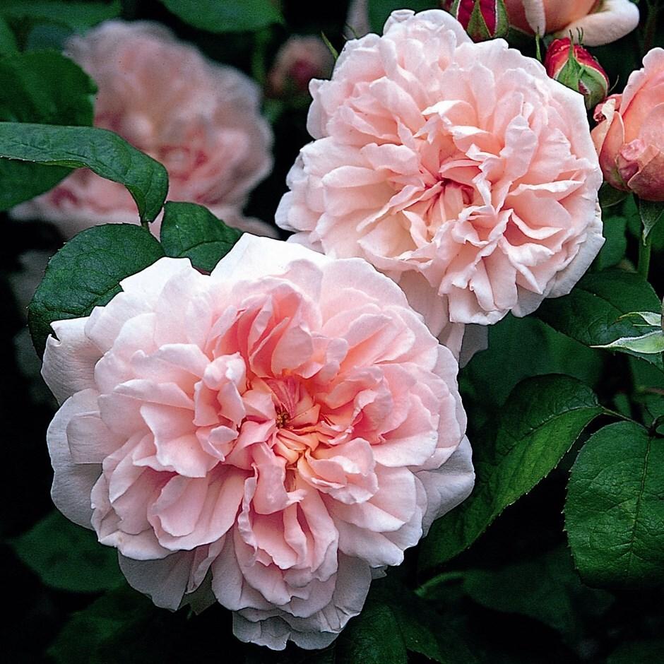 rose Eglantyne (shrub)