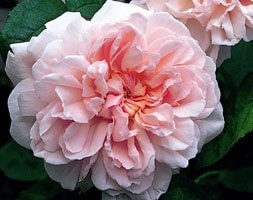 rose Eglantyne (shrub)