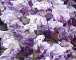 Japanese wisteria ( syn.Wisteria Black Dragon )