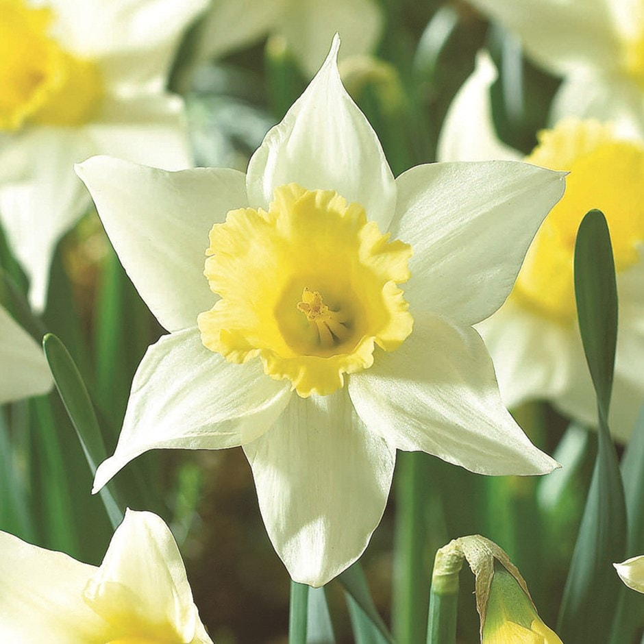 Buy large cupped daffodil bulbs Narcissus Spring Dawn: £4 ...