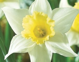 large cupped daffodil bulbs