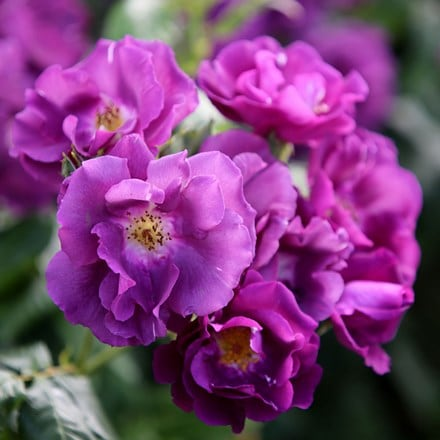Rosa Rhapsody in Blue ('Frantasia') (PBR)