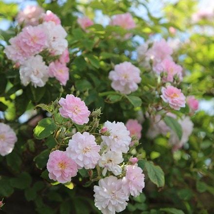 Rosa Paul's Himalayan Musk