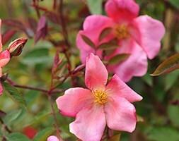 rose Mutabilis (china rose)