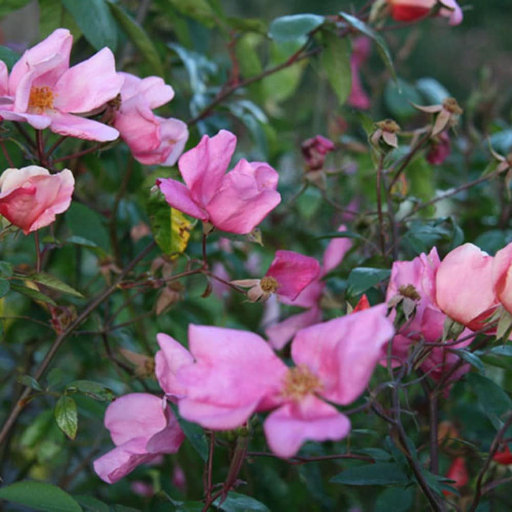 Buy Rose Mutabilis China Rose Rosa 215 Odorata Mutabilis