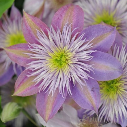 Clematis Crystal Fountain ('Evipo038') (PBR)