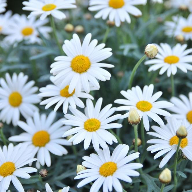 Image result for argyranthemum frutescens