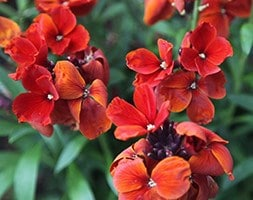 wallflower - Erysimum