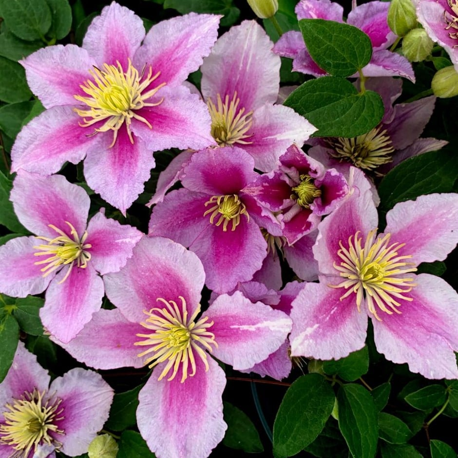 clematis (group 2)