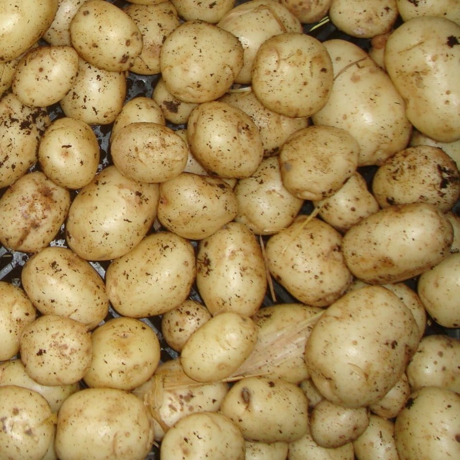 potato - first early, Scottish basic seed potato