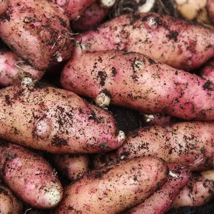 potato Pink Fir Apple