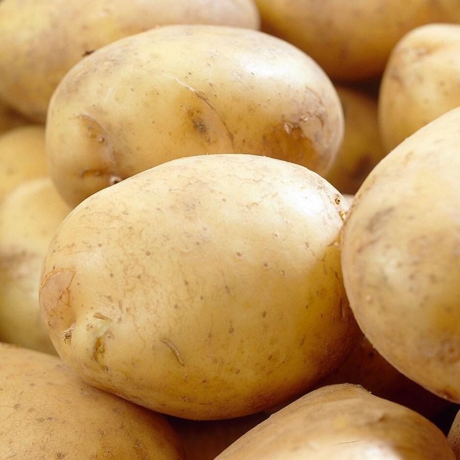 potato - extra early salad, Scottish basic seed potato