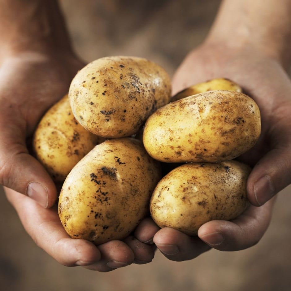 potato - maincrop, Scottish basic seed potato