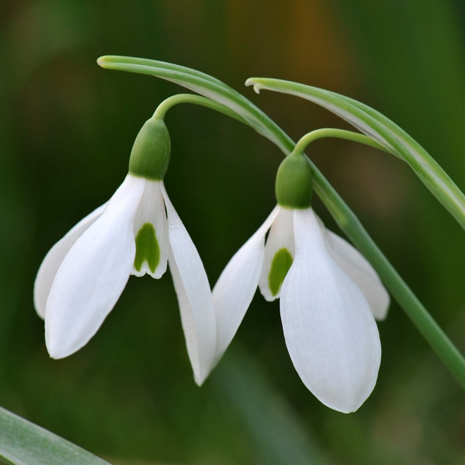 snowdrop - in the green