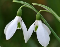 Galanthus nivalis - in the green