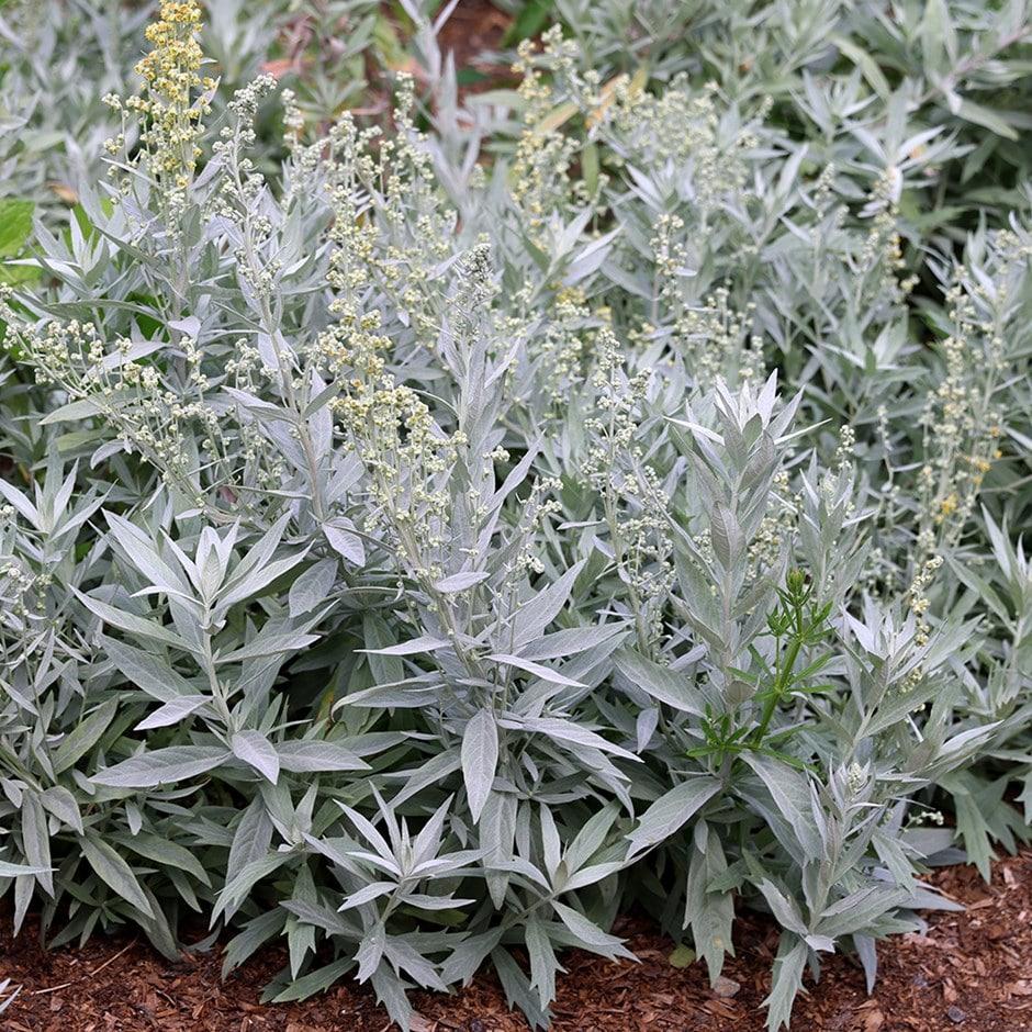 Buy Western mugwort Artemisia ludoviciana 'Valerie Finnis'