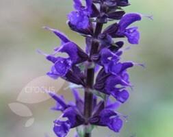 Salvia × sylvestris Viola Klose