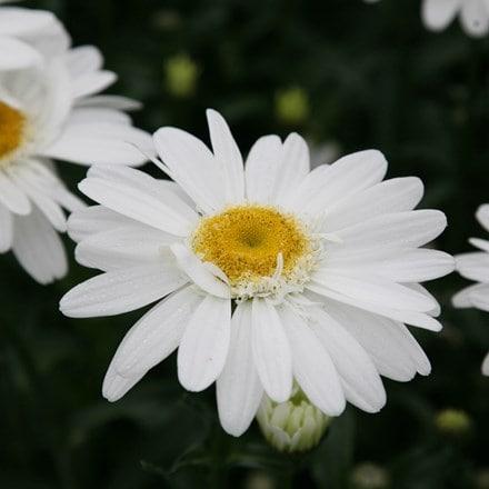 Leucanthemum × superbum T.E. Killin