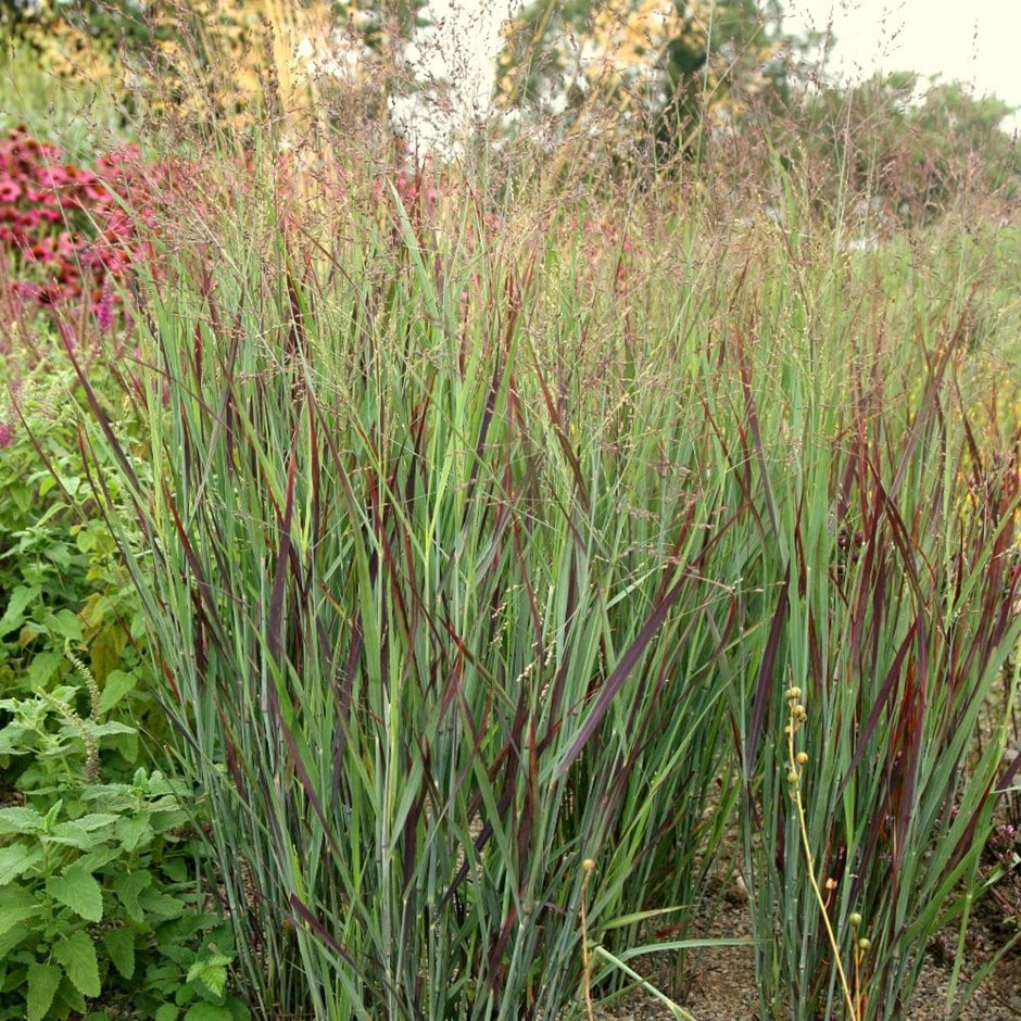 buy switch grass panicum virgatum shenandoah delivery by crocus. Black Bedroom Furniture Sets. Home Design Ideas