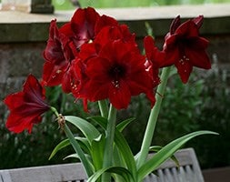 amaryllis Black Pearl bulb