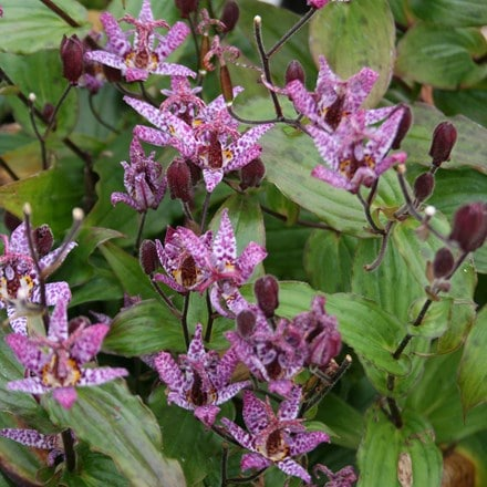 Tricyrtis formosana Dark Beauty