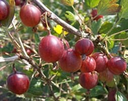 gooseberry Hinnonmäki Röd