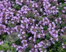 Thymus polytrichus A. Kern. ex Borbás subsp. britannicus (Ronniger) Kerguélen.)