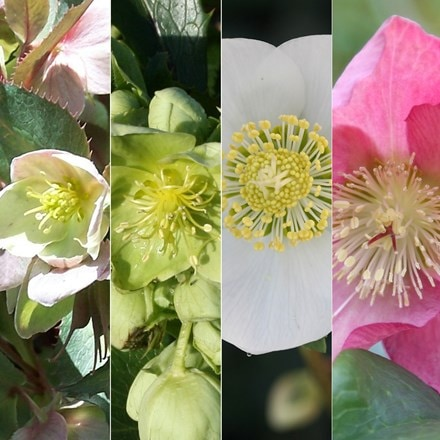 Helleborus collection of six plants